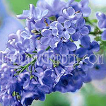 Fragrance Oil Lilac