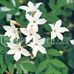 Fragrance Oil Jasmine
