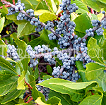 Fragrance Oil Bayberry