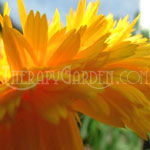 TherapyGarden™ Calendula Flower Extract