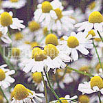 TherapyGarden™ Chamomile Extract