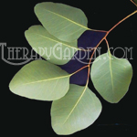 TherapyGarden™ Essential Oil Eucalyptus