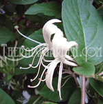 Fragrance Oil Honeysuckle