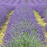 TherapyGarden™ Essential Oil Lavender 40/42