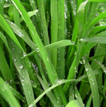 TherapyGarden™ Essential Oil Lemongrass