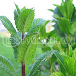 Fragrance Oil Peppermint Super