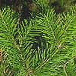 TherapyGarden™ Essential Oil Siberian Fir Needle