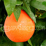 TherapyGarden™ Essential Oil Sweet Orange
